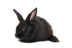 Conejo negro del bebé Fotos de archivo