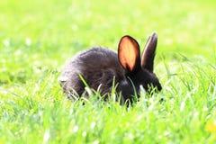 Conejo negro en hierba Imagen de archivo libre de regalías