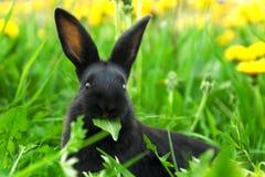 Conejo negro en hierba verde Fotos de archivo libres de regalías