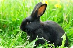 Conejo negro en hierba verde Fotografía de archivo