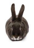 Conejo negro que mira adelante Imagen de archivo libre de regalías