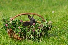 Conejo negro que se sienta en la cesta Fotos de archivo
