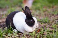 Conejo negro y blanco en la hierba, vista lateral Imagen de archivo libre de regalías