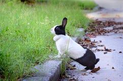 Conejo negro y blanco que se coloca en el encintado de la calle que mira la hierba, vista lateral Fotos de archivo libres de regalías