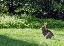 Conejo o liebres en el sol de igualación fotografía de archivo libre de regalías
