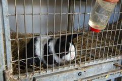 Conejo patético en jaula Imagen de archivo