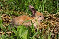 Conejo pelirrojo en la granja Liebres pelirrojas en la hierba en naturaleza Fotografía de archivo libre de regalías
