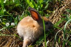 Conejo pelirrojo en la granja Liebres pelirrojas en la hierba en naturaleza Imágenes de archivo libres de regalías