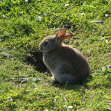 Conejo por la madriguera Fotografía de archivo