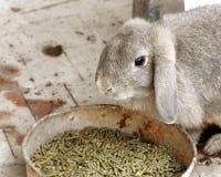 Conejo que come la comida de conejo Fotos de archivo