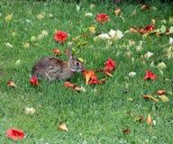 Conejo que come la flor de trompeta Foto de archivo