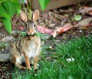 Conejo que come la hierba Foto de archivo libre de regalías