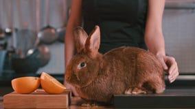 Conejo que frota ligeramente femenino en la tabla Conejo de Brown que huele la fruta anaranjada Conejito de Brown almacen de metraje de vídeo