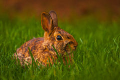 Conejo que se relaja en la hierba Fotografía de archivo libre de regalías