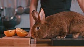 Conejo que se sienta a bordo Mano de la mujer que frota ligeramente el conejo El oler del conejo almacen de video