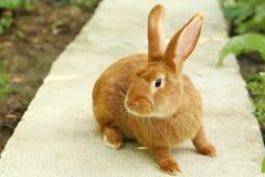 Conejo rojo Fotos de archivo