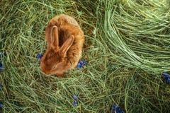 Conejo rojo adorable en la paja Fotografía de archivo libre de regalías
