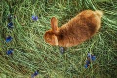 Conejo rojo adorable en la paja Imágenes de archivo libres de regalías