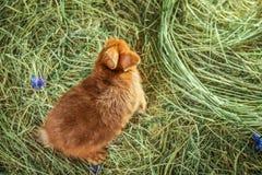 Conejo rojo adorable en la paja Fotos de archivo