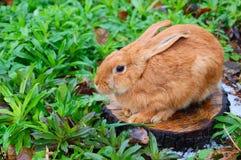 Conejo rojo en el trozo fotos de archivo libres de regalías