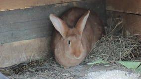 Conejo rojo grande en una pequeña granja almacen de metraje de vídeo