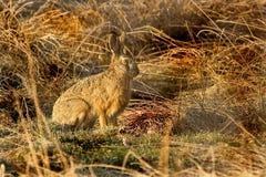 Conejo salvaje Foto de archivo