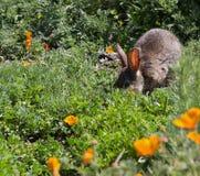 Conejo salvaje del cepillo del conejo de rabo blanco en hierba de la primavera Foto de archivo