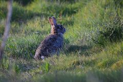 Conejo salvaje en hierba Imagenes de archivo