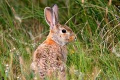 Conejo salvaje en la configuración natural imagenes de archivo