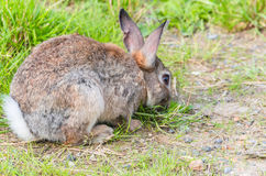 Conejo salvaje en la hierba Imágenes de archivo libres de regalías