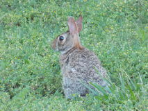 Conejo salvaje en la yarda fotografía de archivo