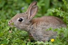 Conejo salvaje joven fotos de archivo