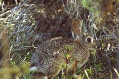 Conejo salvaje que se sienta en una hierba Fotos de archivo