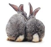 Conejo tres detrás fotos de archivo libres de regalías