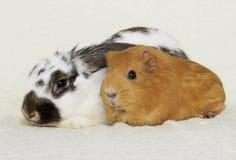 Conejo y conejillo de Indias Fotografía de archivo libre de regalías