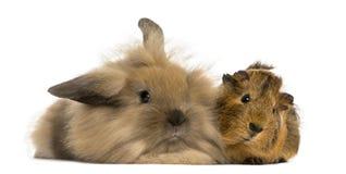Conejo y conejillo de Indias del angora, aislados Fotografía de archivo libre de regalías