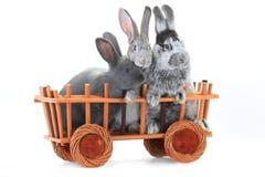 conejos Foto de archivo libre de regalías