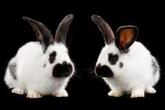 Conejos blancos Fotografía de archivo libre de regalías