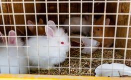 Conejos blancos con los ojos rojos en una jaula imagen de archivo
