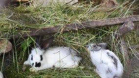 Conejos blancos con los puntos grises en una jaula en el heno metrajes