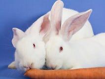 Conejos blancos en un fondo azul Imagen de archivo