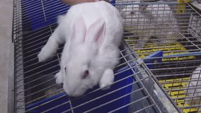 Conejos blancos en una granja del conejo Un hombre frota ligeramente un conejo metrajes