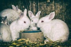 Conejos blancos hermosos, oídos grandes y ojos del rojo Imagen de archivo libre de regalías