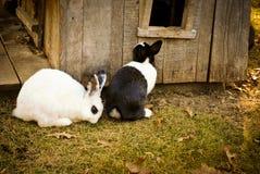 Conejos blancos y negros Foto de archivo
