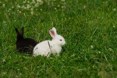Conejos blancos y negros Fotografía de archivo