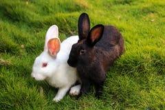 Conejos blancos y negros en la hierba Fotos de archivo
