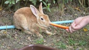 Conejos de alimentación del muchacho lindo asiático del niño de las manos Preadolescente con los animales del campo , Cámara lent almacen de metraje de vídeo