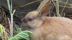 Conejos de conejito jovenes marrones y grises brillantes que comen la col rizada metrajes