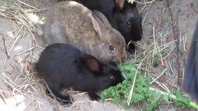 Conejos de conejito marrones y negros dulces que alimentan en el veggie de la col rizada almacen de video