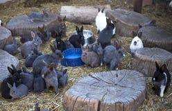 Conejos de la granja Fotos de archivo